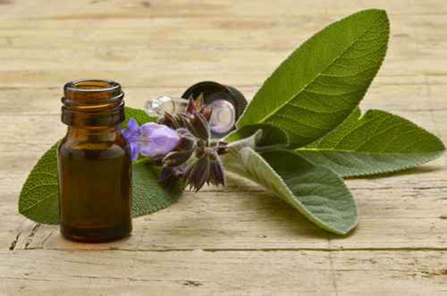Salvia officinalis Sauge officinale Echter Salbei