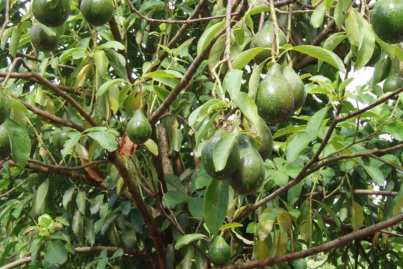 avocatier-avocado-tree-800x535