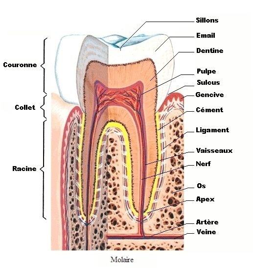 Anatomie-dent1b1