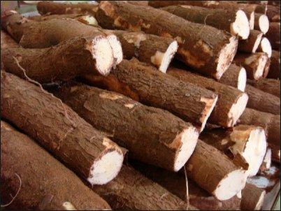 tubercules-de-manioc-1